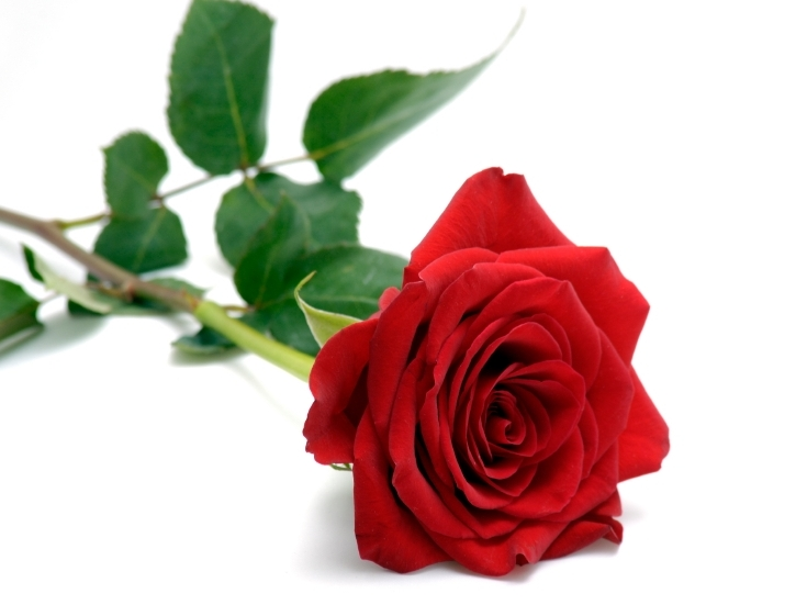 the meaning behind valentine's day roses  skips florist, Natural flower