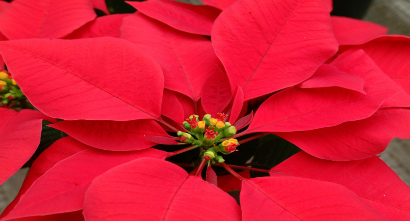 Flower Feature: Poinsettias