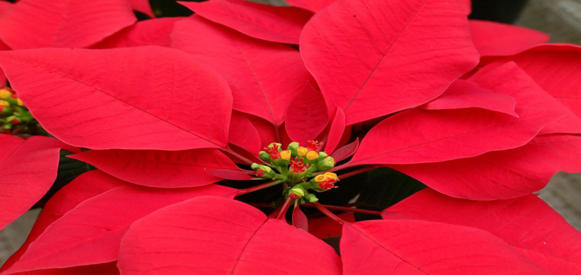 Flower Feature: Poinsettias