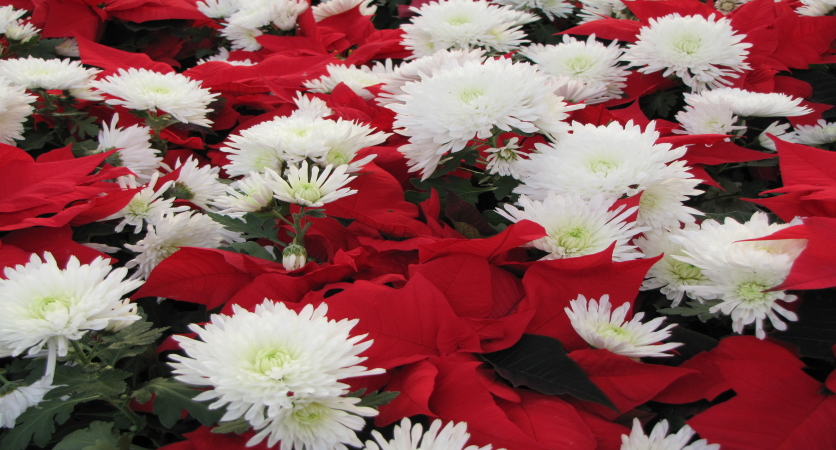 4 Christmas Flowers to Use to Decorate Your Home this Holiday